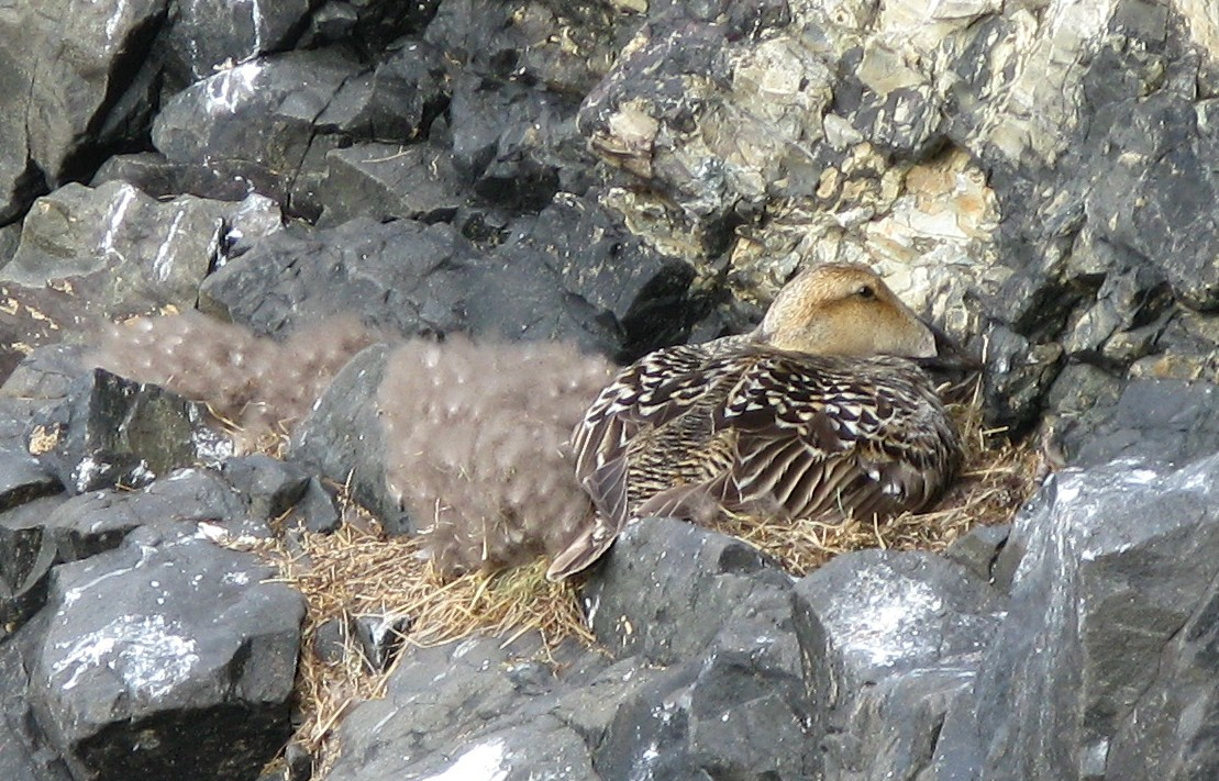 common eider on nest