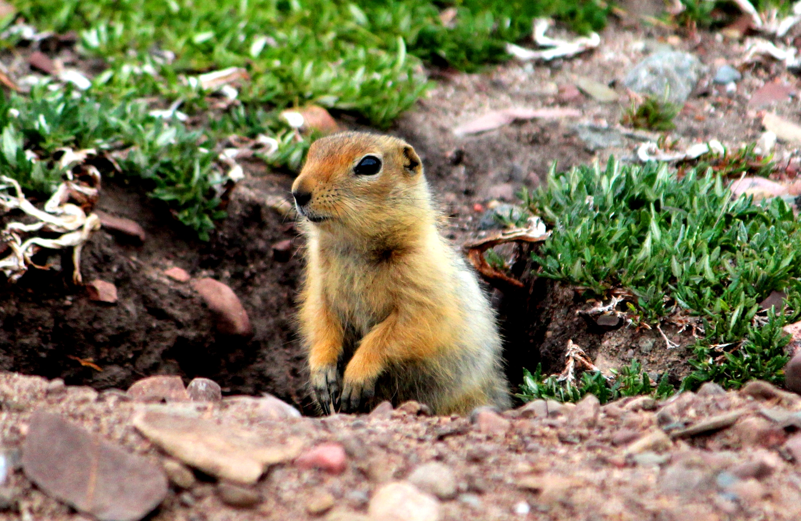 hik hik or groundsquirrel