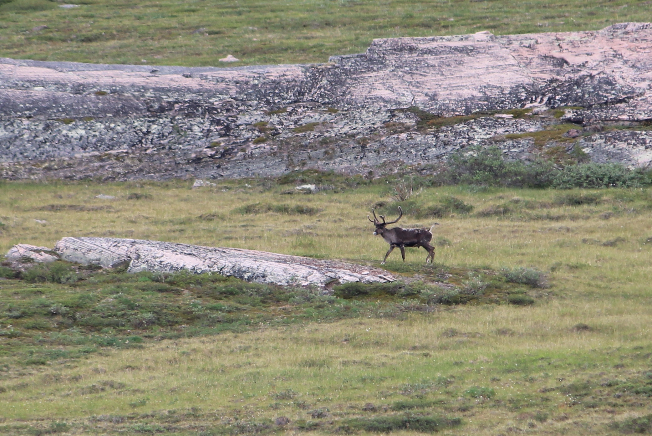 Caribou at Fishing Creek