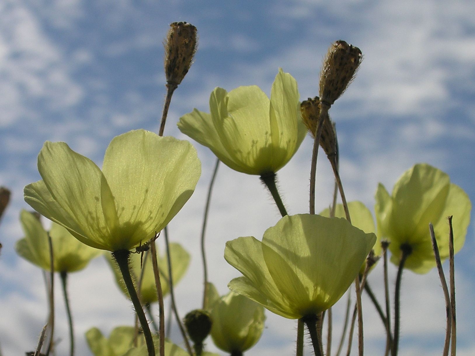 Arctic poppies