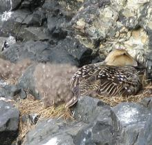 common eider on nest