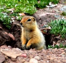 hik hik or groundsquirrel
