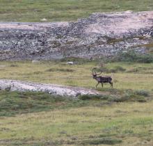 Caribou at Fishing Creek