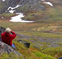 Watching muskoxen